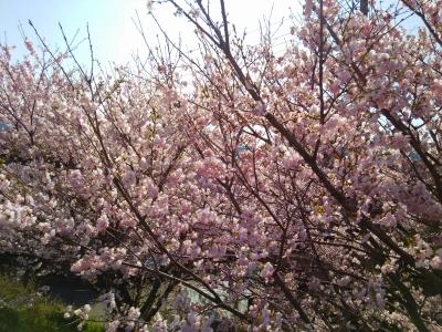 2015桜 (4).jpg